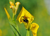 """<div class=""""jaDesc""""> <h4>Bumblebee in Yellow Water Iris - June 7, 2014</h4> <p> This Yellow Water Iris in our water garden pond was past its prime, but a Bumblebee was busily collecting pollen from it.</p> </div>"""