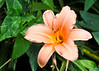 """<div class=""""jaDesc""""> <h4>Peach Daylily - July 20, 2014</h4> <p>One of my favorite backyard plants is this unique peach Daylily.  I wish they lasted longer than they do, but I enjoy their beauty while they are in bloom. </p> </div>"""