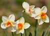 "<div class=""jaDesc""> <h4>Orange Yellow &amp; White Daffodils - April 28, 2015</h4> <p></p> </div>"