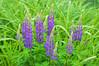 "<div class=""jaDesc""> <h4>Purple Lupines - May 30, 2015</h4> <p></p> </div>"