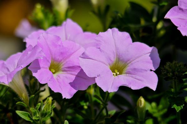 "<div class=""jaDesc""> <h4>Pink Petunia - June 26, 2015</h4> <p></p> </div>"