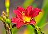 """<div class=""""jaDesc""""> <h4>Red Daylily - August 10, 2014</h4> <p>It is now the Red Daylily's turn to bloom.  We are fortunate to have our different color Daylilies bloom over a 6 week period.  </p> </div>"""