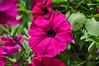 "<div class=""jaDesc""> <h4>Purple Petunia - June 26, 2015</h4> <p></p> </div>"
