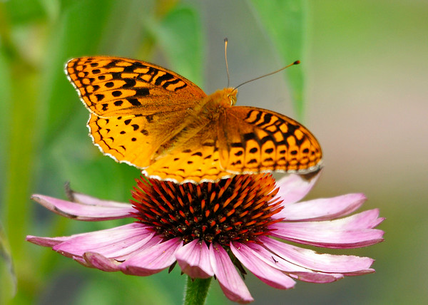 """<div class=""""jaDesc""""> <h4>Great Spangled Fritillary on Coneflower - July 27, 2014</h4> <p>This is the first Great Spangled Fritillary I have seen this year.  Not surprising it was in the Coneflower patch - a magnet for butterflies.</p> </div>"""