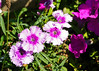 """<div class=""""jaDesc""""> <h4> Pink, Lavender and White Dianthus - August 28, 2014</h4> <p> </p> </div>"""
