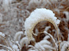 """<div class=""""jaDesc""""> <h4> Ornamental Grass in Winter -  January 14, 2011</h4> <p> Some of our ornamental grass seed heads collect quite a bit of snow.  I noticed this one in particular as I was strolling through my back yard.</p> </div>"""