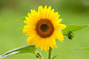 """<div class=""""jaDesc""""> <h4> Sunflower in Bloom - August 17, 2012</h4> <p> Some of the sunflower seeds that I toss onto the ground for the birds germinate and grow into beautiful sunflowers.  There is a large patch of them in our bird feeder area.</p> </div>"""