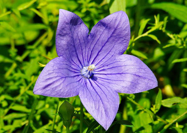 """<div class=""""jaDesc""""> <h4>Balloon Flower - July 20, 2014</h4> <p>This is a cheerful looking flower that does not require any special attention.</p> </div>"""