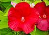 "<div class=""jaDesc""> <h4>Red Hibiscus - August 20, 2014 </h4> <p></p> </div>"
