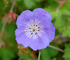 """<div class=""""jaDesc""""> <h4> Johnsons Blue Geranium - September 2004 </h4> <p> I planted 4 perennial Johnsons Blue Geranium plants in a large flower bed.  I was pleasantly surprised when they totally covered a 6x12 foot area.</p> </div>"""