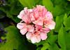 "<div class=""jaDesc""> <h4> Pink and Peach Geranium - August 20, 2014</h4> <p> </p> </div>"