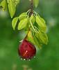 "<div class=""jaDesc""> <h4> Pear After the Rain </h4> </div>"