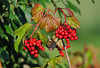 """<div class=""""jaDesc""""> <h4> Highbush Cranberries are Ripe -  August 19, 2010</h4> <p> This year's Highbush Cranberries have ripened.  Since these berries are high in carbohydrates, the birds will leave them alone until spring when they provide warmth during the chilly transition period.  Robins are usually the first to eat them. In the fall, the birds eat the high protein fruit like the crabapples to provide energy for their migration flights.</p> </div>"""