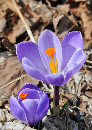 """<div class=""""jaDesc""""> <h4>Lavender Crocus - April 13, 2014</h4> <p>Sometimes we see our first Crocus in late February; this year they are out much later than normal.</p> </div>"""
