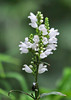 """<div class=""""jaDesc""""> <h4>Obedient Plant - July 9, 2014</h4> <p>Obedient Plant is a species of flowering plant in the mint family, also know as False Dragonhead.  It comes in a variety of colors including white and pink.   It is native to North America. </p> </div>"""