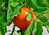 """<div class=""""jaDesc""""> <h4> Tomato Just About Ready - August 15, 2014 </h4> <p>We turned some of our backyard flower beds into vegetable gardens this year.  The Tomato patch is doing really well.  We can't wait to slice into this beauty; the first 3 were delicious.</p> </div>"""