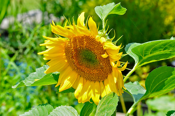 """<div class=""""jaDesc""""> <h4>Sunflower Facing the Sun- July 20, 2014</h4> <p>I never have to plant any Sunflowers in my yard.  The birds, chipmunks and squirrels do that for me.  They pop up in many places among my flower gardens.  The flower heads are always oriented to the south toward the sun.</p> </div>"""