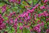 "<div class=""jaDesc""> <h4>Prairie Fire Crabapple Blooms - May 15, 2015</h4> <p></p> </div>"