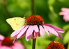 """<div class=""""jaDesc""""> <h4>Clouded Sulphur on Purple Coneflower - July 20, 2014</h4> <p>Our Purple Coneflowers are butterfly magnets.  It is not unusual to have 6 different butterfly species on the 10 plants in our small bed at the same time.  They love to get nectar from the bloom head.</p> </div>"""