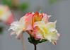 "<div class=""jaDesc""> <h4>Rhododendron-Azalea Hybrid - May 30, 2015</h4> <p></p> </div>"