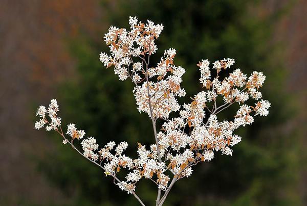 "<div class=""jaDesc""> <h4> Serviceberry Tree (aka Shadbush or Juneberry) in Bloom - April 2010 </h4> </div>"