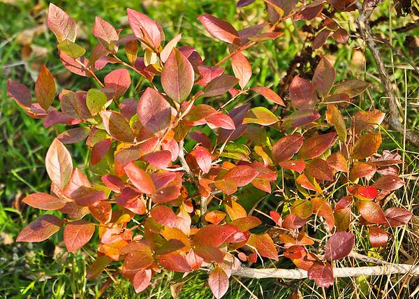 "<div class=""jaDesc""> <h4> Blueberry Bush Changing Color - October 10, 2014 </h4> <p></p> </div>"