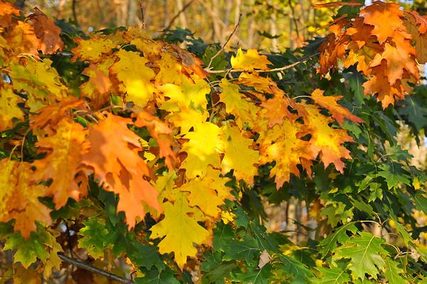 "<div class=""jaDesc""> <h4> Oak Tree Leaves Changing Color - October 1, 2014 </h4> <p></p> </div>"