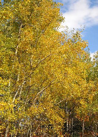 "<div class=""jaDesc""> <h4> Gray Poplar Trees Changing Color - October 10, 2014 </h4> <p></p> </div>"