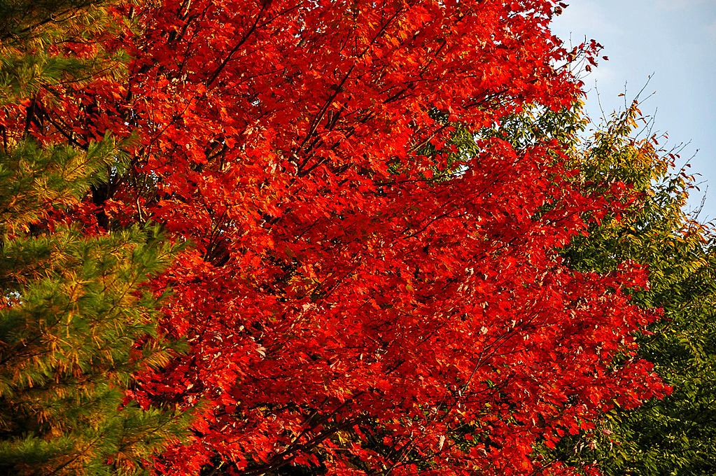 "<div class=""jaDesc""> <h4>Red Maple Tree - October 1, 2014 </h4> <p> </p> </div>"