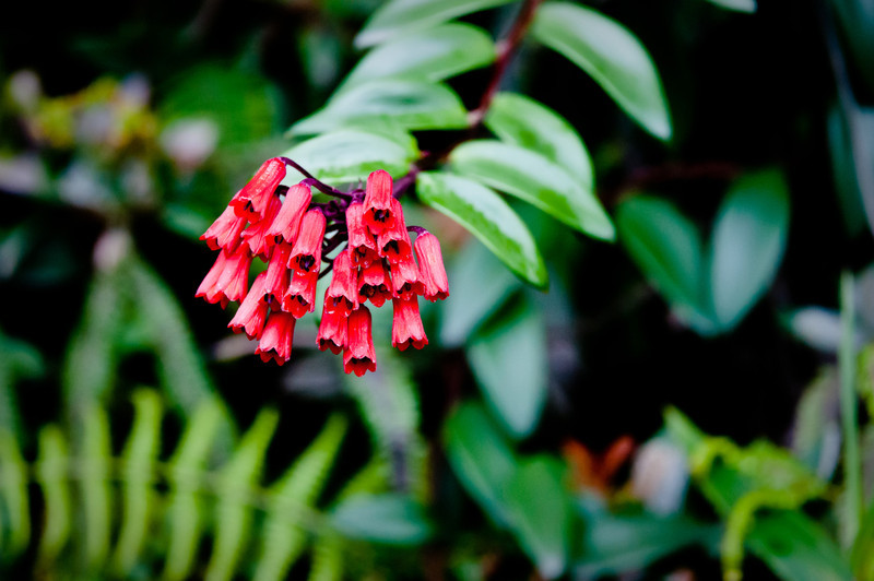 Flowers in the Manu Cloud Forest