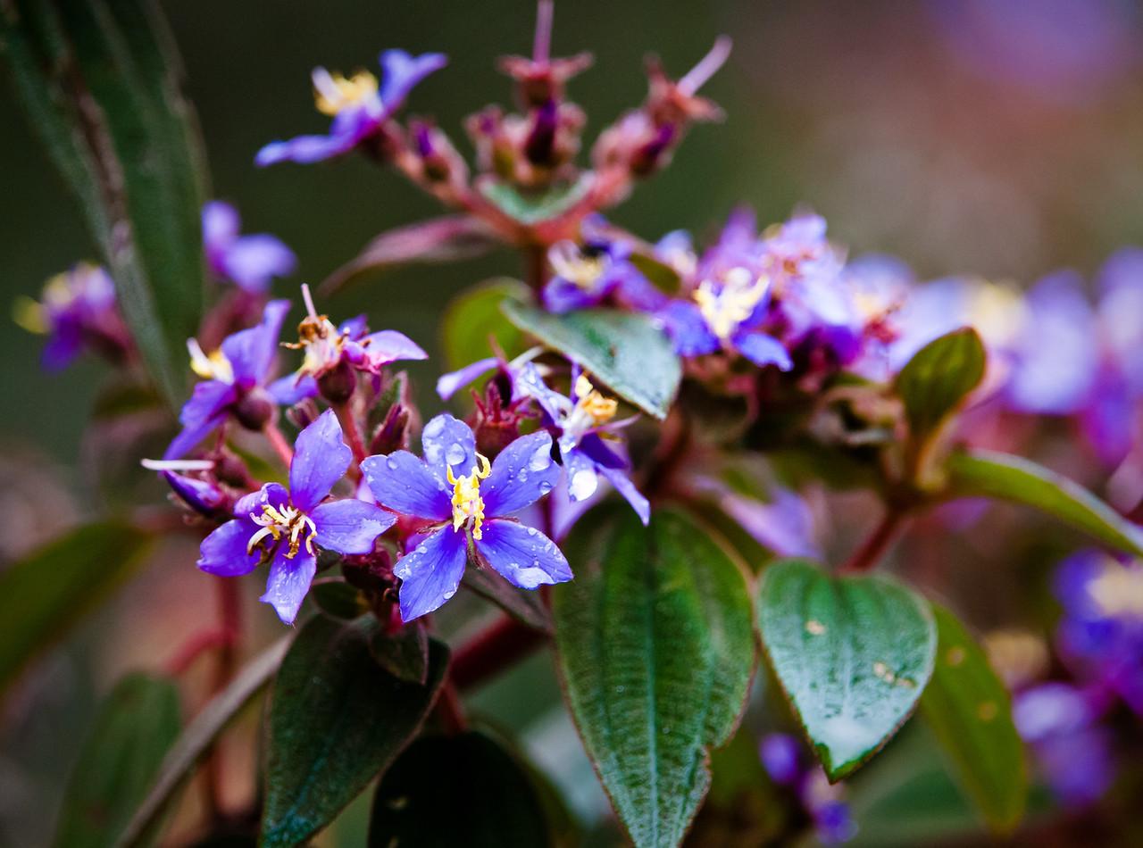 Flowers in Melastome Family
