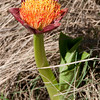 Scodoscus puniceus -- Blood Lily
