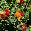 Protea -- Leucospermum oleifolium