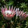 King Protea -- Protea cynaroides