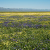 Field of flowers near the salt flats