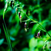 Bronze Bells -- Stenanthium occidentale