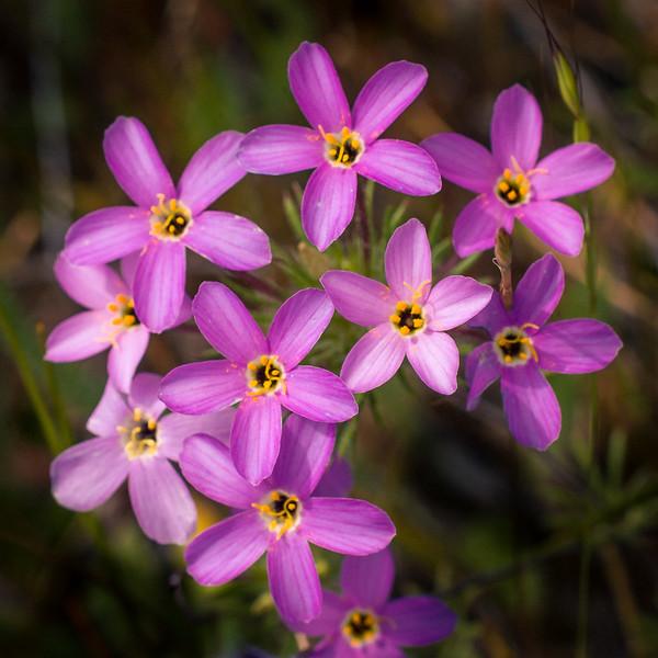 Lilac Babystars -- Leptosiphon androsaceus