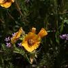 San Joaquin Blazing Start -- Mentzelia pectinata