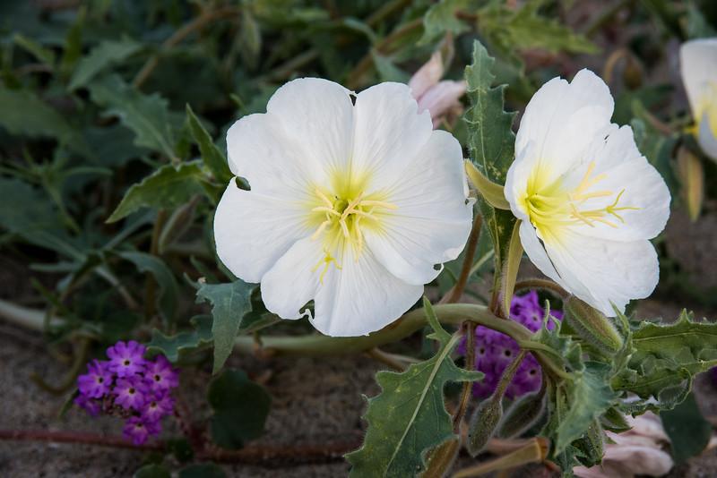 California Evening primrose --Oenothera californica