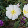 California Evening primrose --Oenothera californica