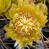 California Barrel Cactus -- Ferocactus cylindraceus