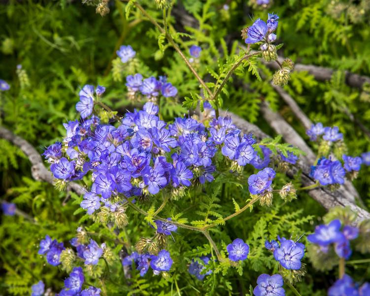 Common Phacelia or Blue-eyed Scorpionweed