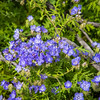 Common Phacelia or Blue-eyed Scorpionweed
