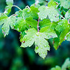 Mountain Maple -- Acer glabrum