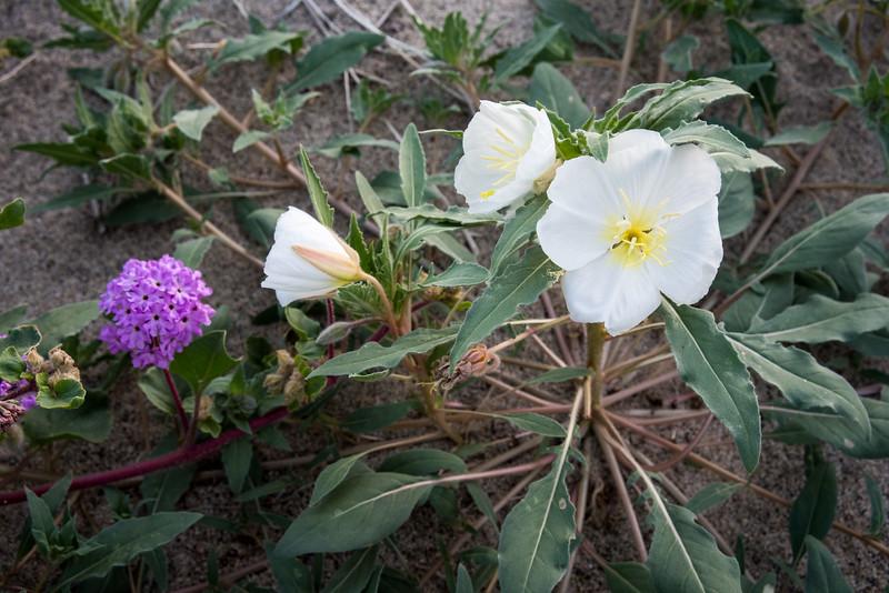 California Evening primrose --Oenothera californica,   Anza Borrego State Park,  CA  March 2017