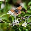 Bitter Cherry -- Prunus emarginata