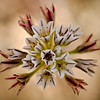 Pitted Onion -- Allium lacunonsum, Ring Mountain, Marin County, CA