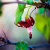 Sierra Gosseberry -- Ribes roezlii
