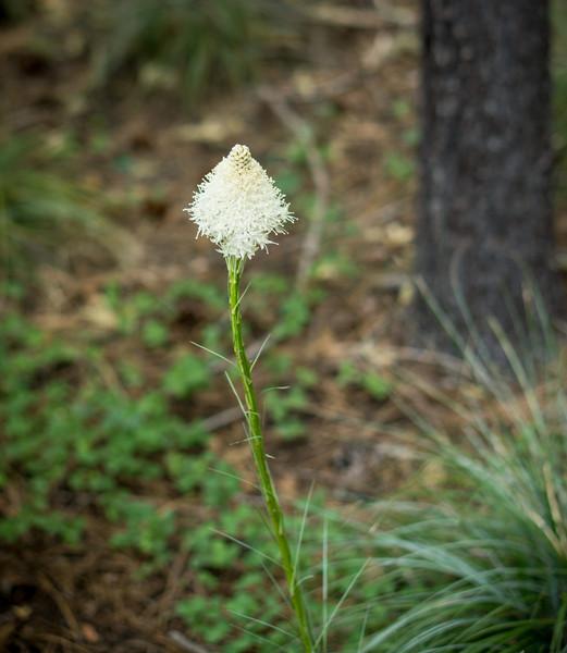 Bear Grass -- Xerophyllum tenax