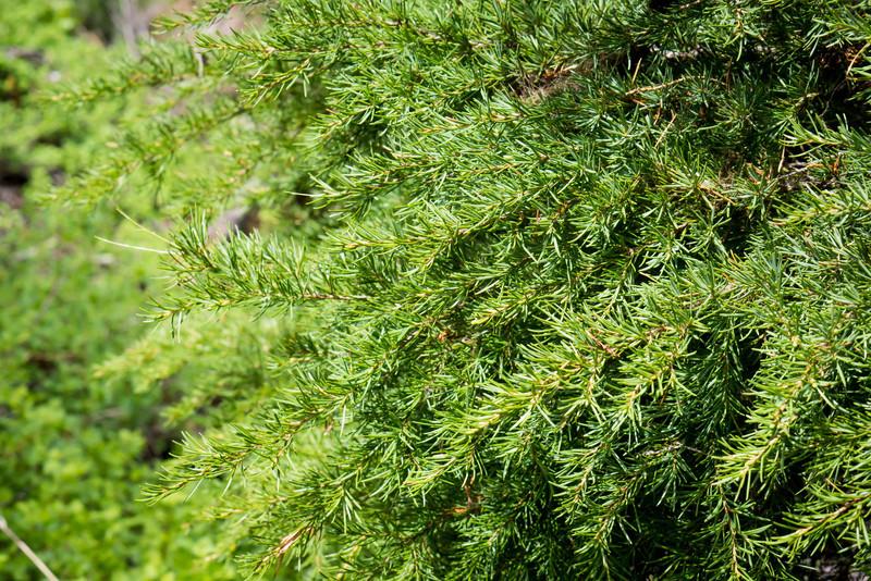 Western Hemlock -- Tsuga mertensiana